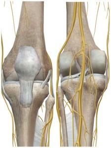 膝周辺の神経