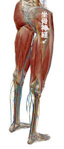 坐骨神経全体図