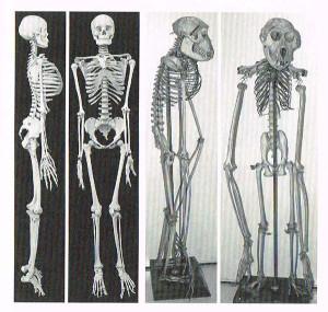 人間とサルの骨盤を比較