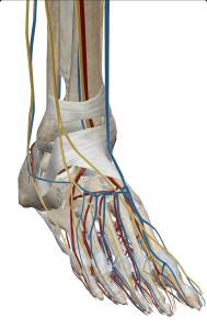 坐骨神経足部